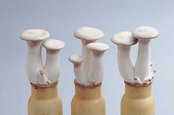 asian-mushroom-king-trumpet-growing