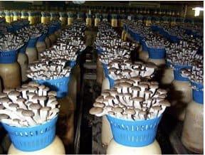 asian-mushrooms-growing