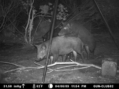 wild-boar-2