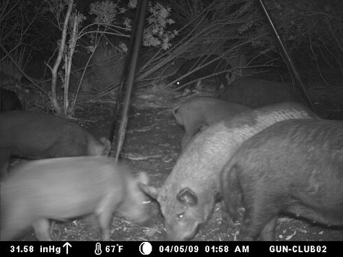 wild-boar-4