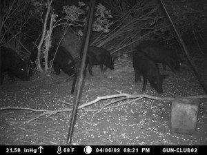 wild-boar1