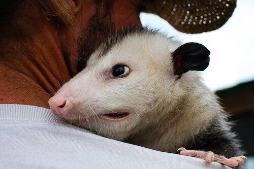 Smiling Possum Jaden-opossum-029