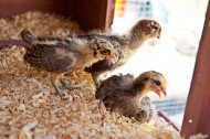chicks-new-home-5277.jpg