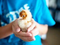 How to raise chicks - fire flapper