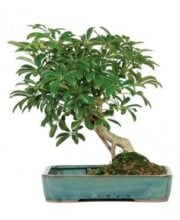 hawaiian_umbrella_indoor_bonsai_tree_with_pool