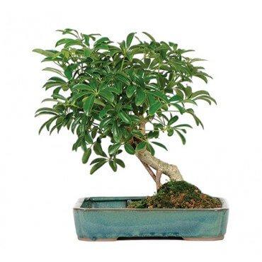 hawaiian_umbrella_indoor_bonsai_tree_with_pool