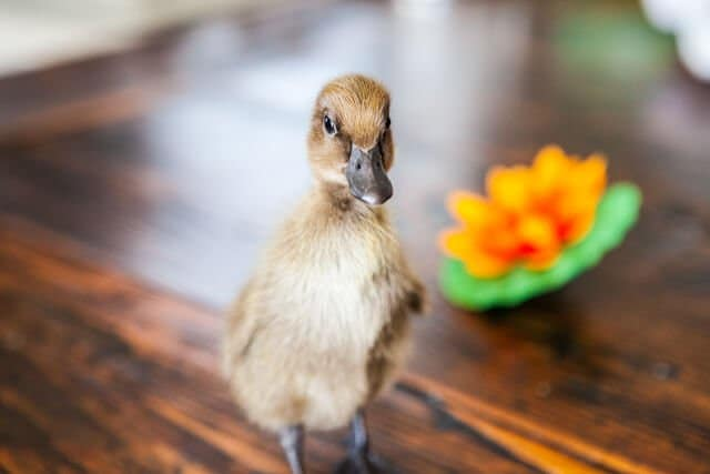 nibbles-duckling-9177