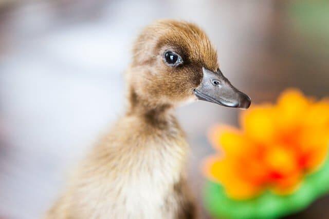 nibbles-duckling-9178