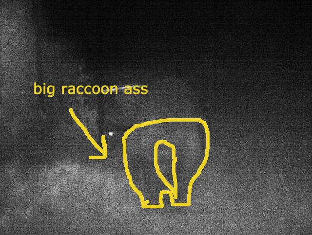 damn-raccoon-0016-3b