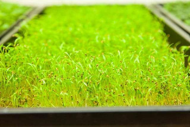 growing microgreens-1044