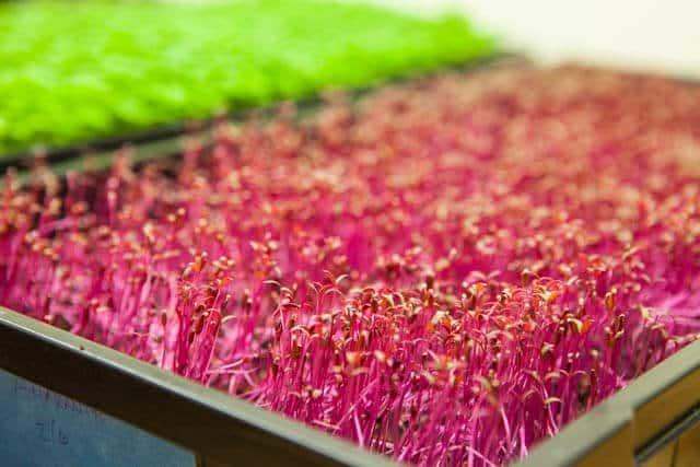 growing microgreens-1045