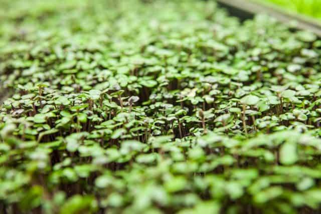 growing microgreens-1048