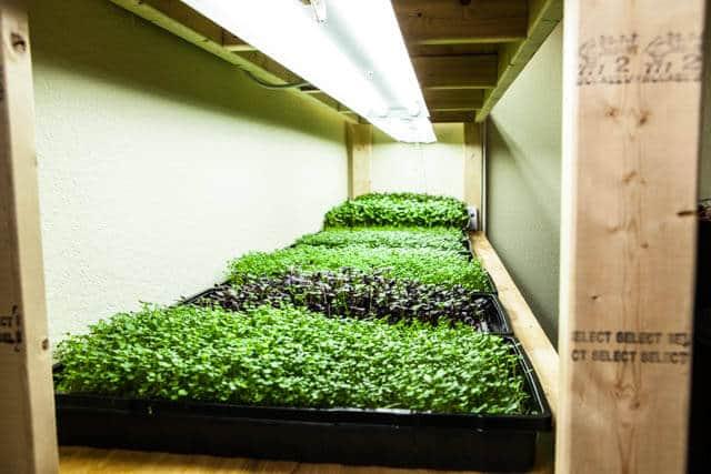 how-to-grow microgreens-0685