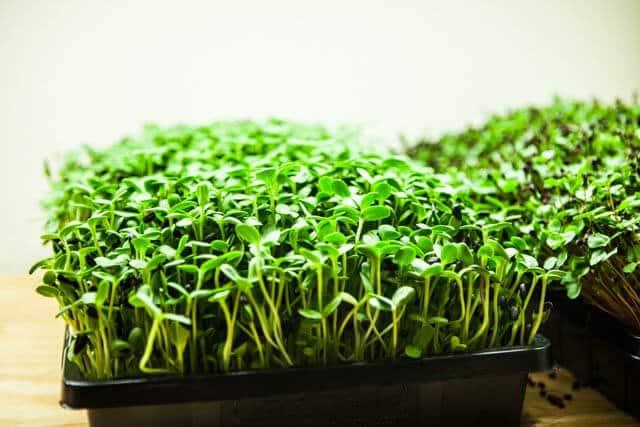 Grow: The Microgreens Mad Scientist - Steamy Kitchen Recipes