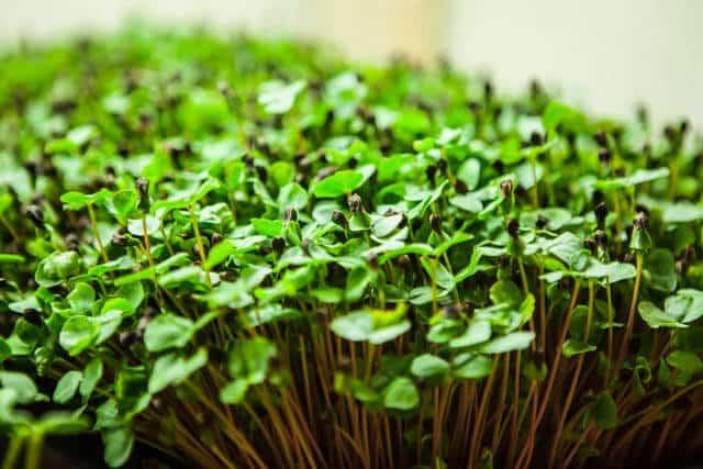 how-to-grow microgreens-0692