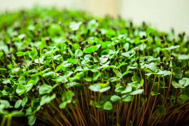 how-to-grow microgreens-0692