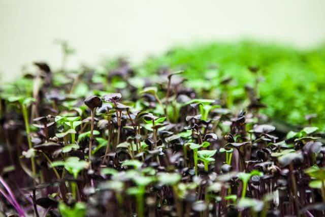 how-to-grow microgreens-0695