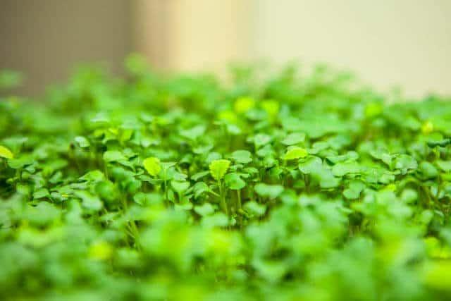 how-to-grow microgreens-0696