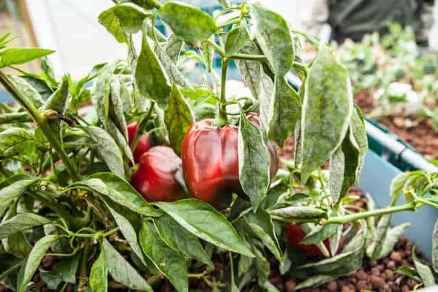 how-to-grow microgreens-0701
