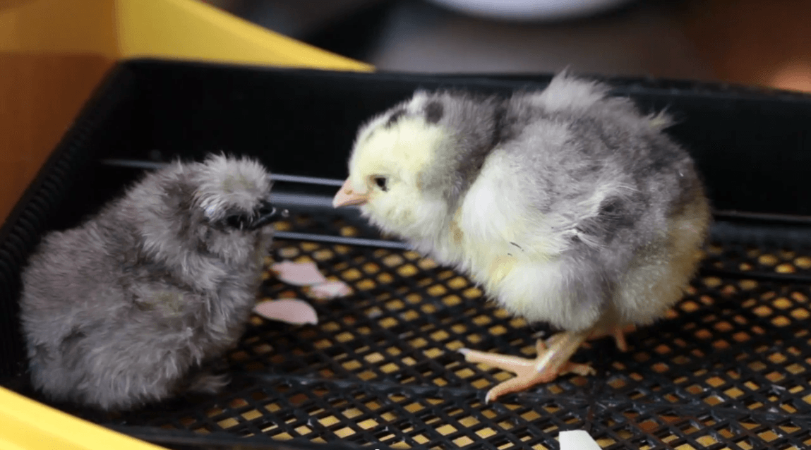 baby-chick-hatching