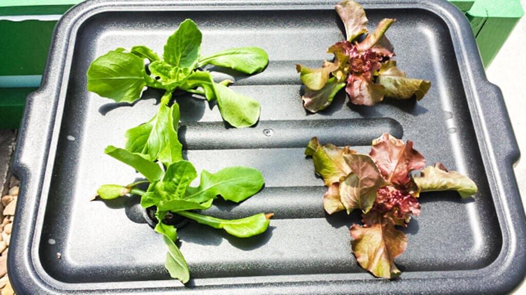 tub-hydroponics-39-wk2