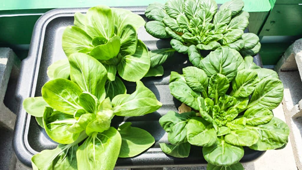 tub-hydroponics-39-wk4