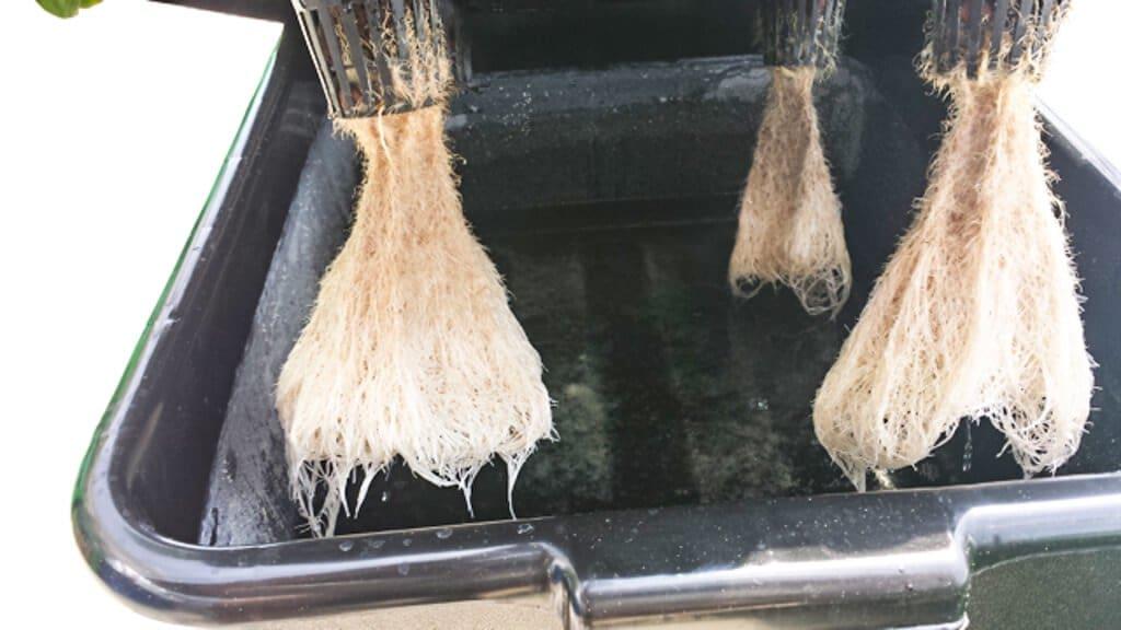 tub-hydroponics-39-wk5-roots