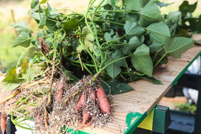 Aquaponics Sweet Potatoes Update