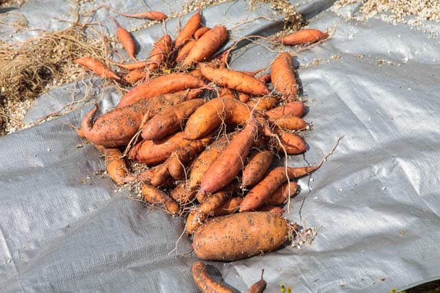 Aquaponics-sweet-potatoes-1797