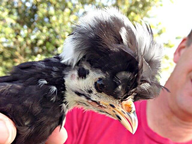 baby-chicks-miss-cruella-IMG_7703