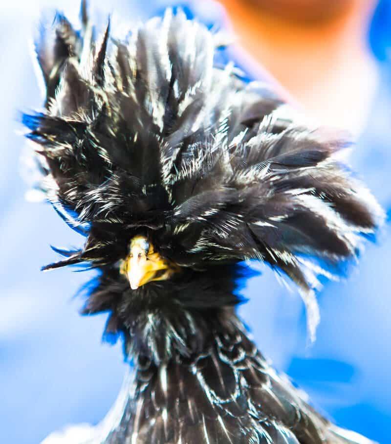 hens-eggs-2736-3