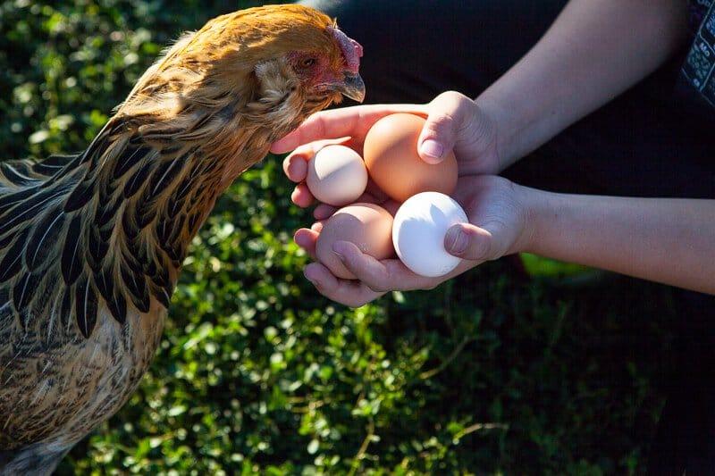 hens-eggs-2886