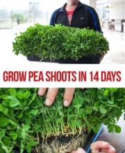 grow-pea-shoots-14-days