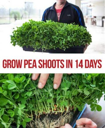 grow-pea-shoots-14-days