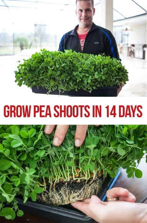 How to Grow Pea Shoots