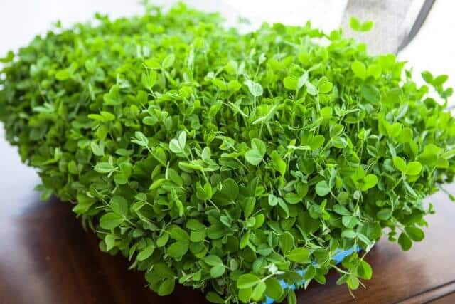 growing pea shoots sprouts microgreens-3903