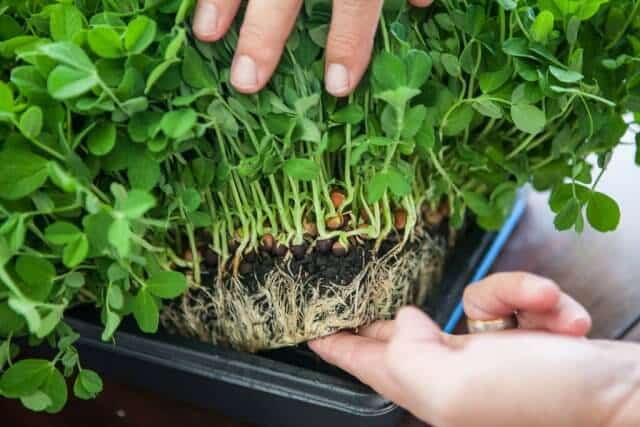 growing pea shoots sprouts microgreens-3905