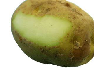 should I refrigerate potatoes - GREEN potatoes